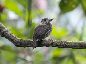 Carara National Park Birding Tours