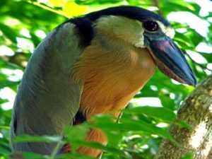 Carara National Park Birds